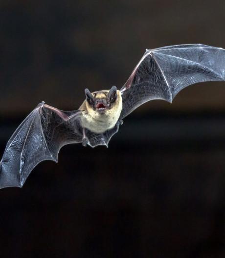 Vleermuizen doorkruisen nieuw bestemmingsplan buitengebied van Oss