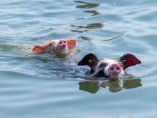 Opmerkelijk: zwemmen met varkens in de Oosterschelde
