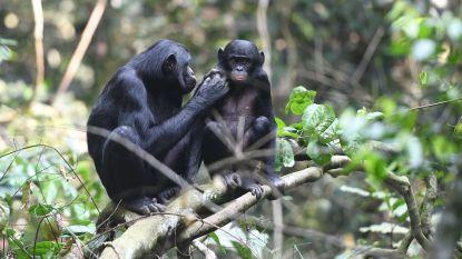 Bonobomoeders bemoeien zich met het seksleven van hun zonen