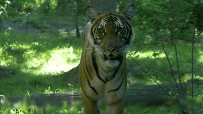 Tijger in Amerikaanse zoo test positief op coronavirus