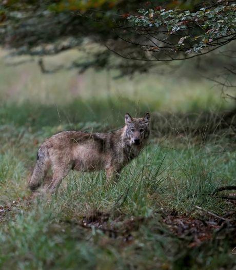 Natuurfotograaf uit Kampen hoopte een wolf te zien op de Veluwe, maar stuitte op een roedel: 'Overweldigend'