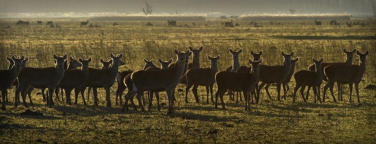 Een groep herten in de Oostvaardersplassen. Beeld Marcel van den Bergh / de Volkskrant