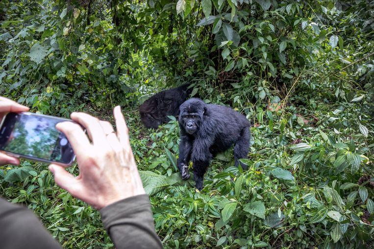 Buitenlandse toeristen trekken door Bwindi National Park, samen met Rangers en dragers, opzoek naar berg gorillas. Ze mogen een uur bij de gorillas zijn en foto's maken. Beeld Sven Torfinn.