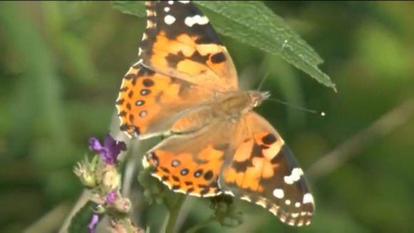 Superzwerm vlinders