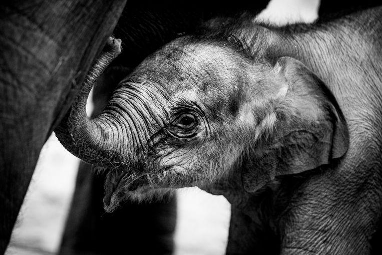 Het pasgeboren olifantje kreeg vandaag officieel vandaag de naam 'Suki'.