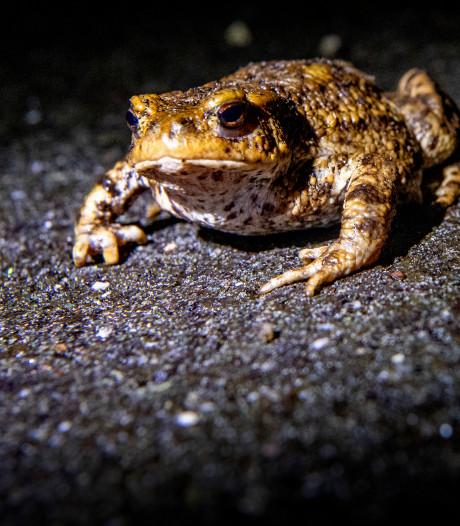 Helft minder dieren overgezet tijdens paddentrek
