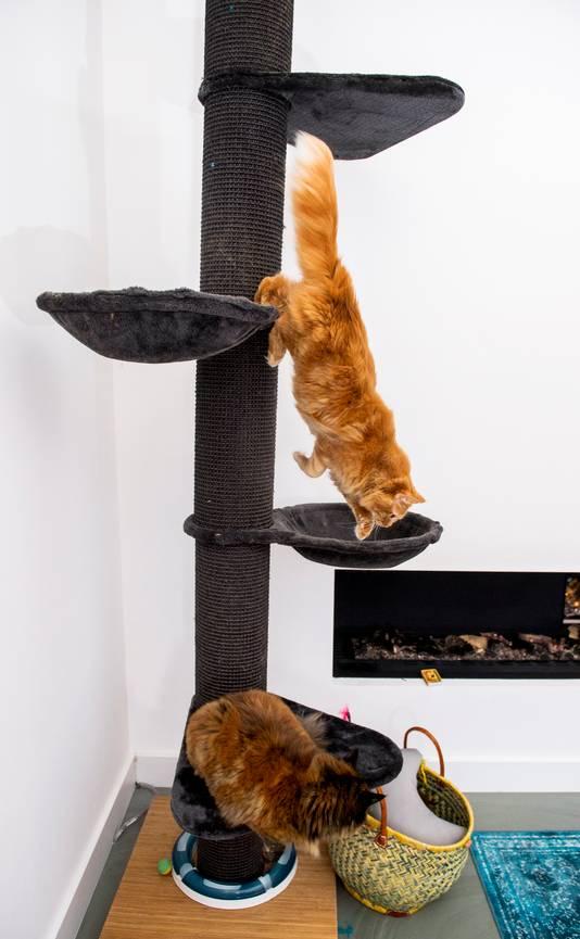 Mainecoon katten Mina en Aagje.