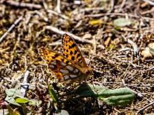 Zeldzame kleine parelmoervlinder na tientallen jaren afwezigheid gevonden op de Sallandse Heuvelrug