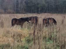 Exmoor pony's mogen Slabroekse Heide in Uden gaan bijhouden