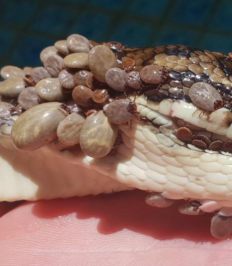 Python met honderden teken uit zwembad gehaald