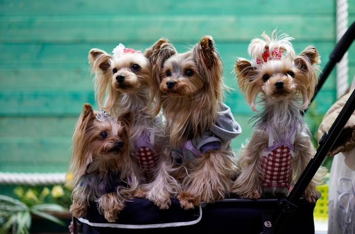 Deze Yorkshire terriers hoeven ook niet zelf te wandelen, maar bekijken de huisdierenbeurs vanuit een speciale hondenwagen.