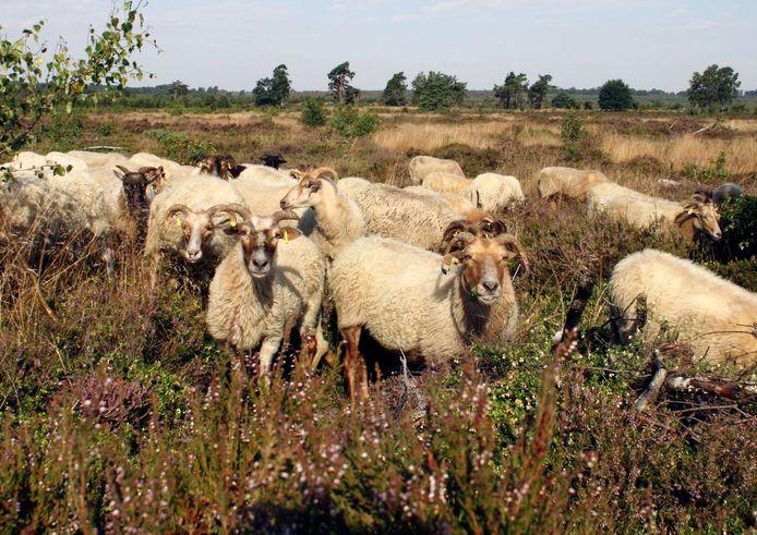 Vanaf medio april zijn ze weer te zien, grazende schapen op de Sallandse Heuvelrug en in het Wierdense Veld.