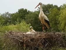 Vogelpark Avifauna stevent af op recordaantal babyooievaars