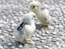 Moedereend legt eieren op grote hoogte