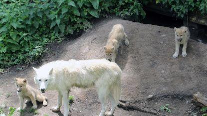 Wie bedenkt T-namen voor vier wolvenpups?