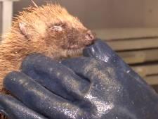 Mysterieuze ziekte vanuit België treft Brabantse egels: 'Zestig procent overleeft het niet'