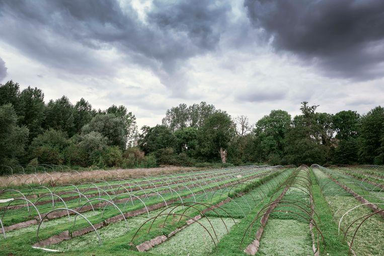 De waterkersvelden van Frank en Christel Vansimpsen uit Tongeren.