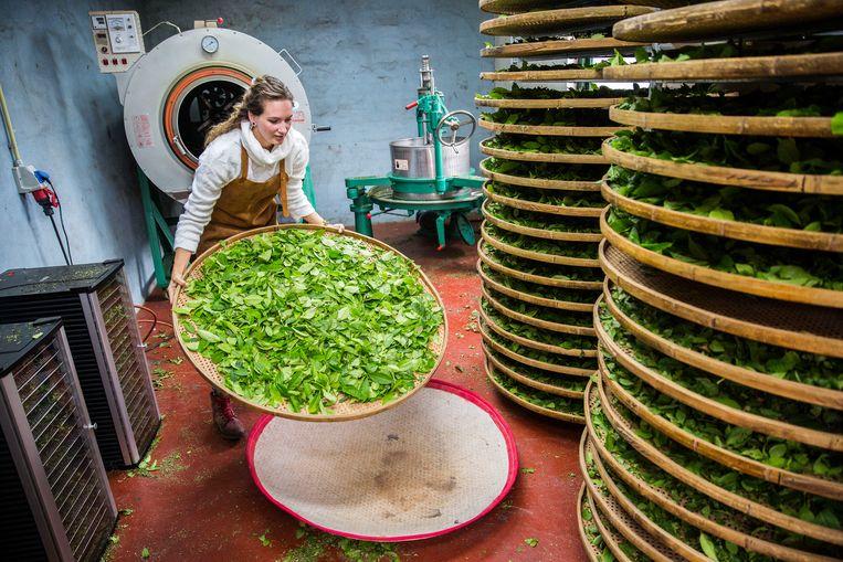 In Zundert maken ze thee, met behulp van blaadjes van de Camellia sinensis, oftewel de theeplant.  Beeld Arie Kievit