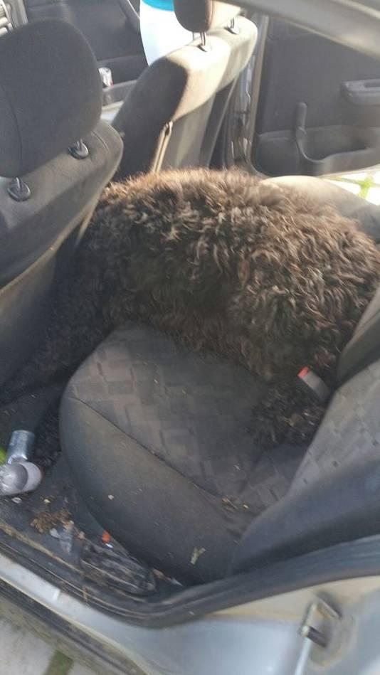 De hitte in de auto werd de bouvier fataal.