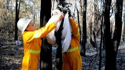 """""""We kunnen enkel een eind maken aan hun lijden"""": dierenartsen moeten massaal verbrande dieren euthanaseren in Australië"""