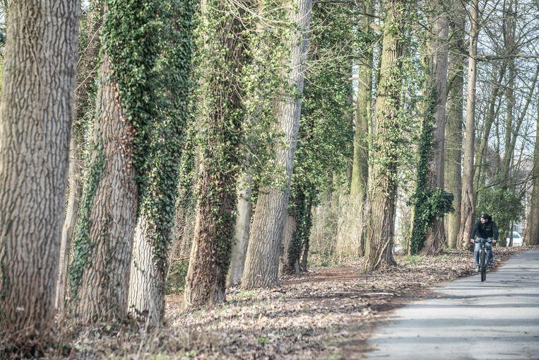 De bomen aan de Sportdreef verkeren in slechte staat, zo hebben specialisten van het Agentschap voor Natuur en Bos vastgesteld.