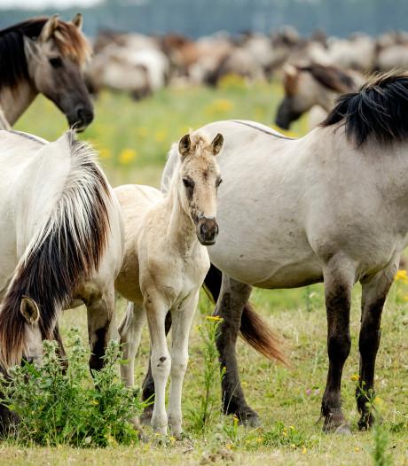 Uit Oostvaardersplassen overgeplaatste konikpaarden vermoedelijk naar de slacht