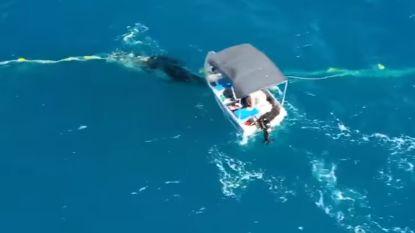 Straffe beelden: Australische man redt walvis uit net en krijgt boete