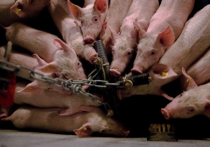 Honderden varkens bezweken gisteren in hun stal in Middelharnis aan de hitte.