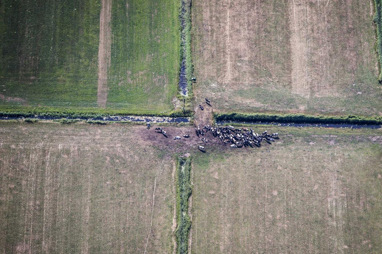 Zomer 2018: Koeien op een droog weiland in Friesland.