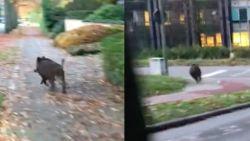 Verloren gelopen everzwijn holt over straat in Leuven