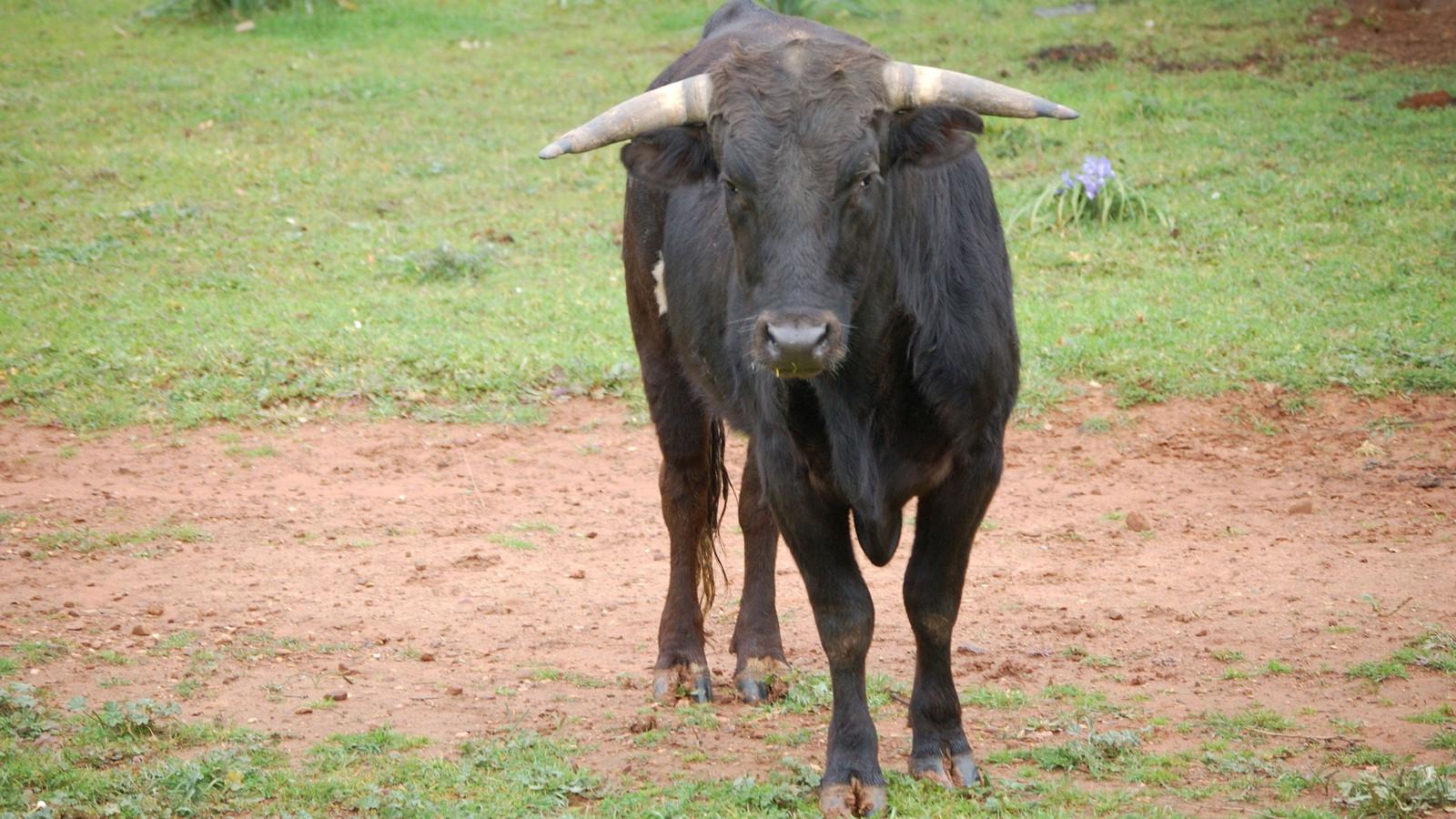 Een stier, dit dier is niet van de betreffende boer.