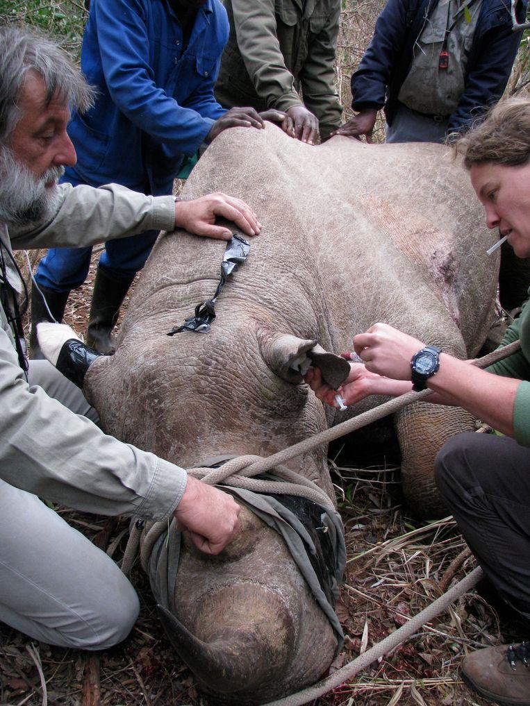 Van Zijll Langhout injecteert een zwarte neushoorn, 2011. Beeld Pilvi Lassila