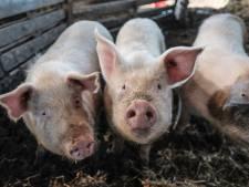 Verdere uitwerking cruciaal bij varkensplan kabinet