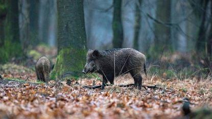 Eerste gevallen van Afrikaanse varkenspest ontdekt in België sinds 1985