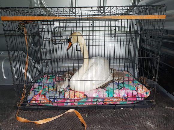 De moederzwaan met kuikens, onderweg naar het Vogelopvangcentrum in Oostende.