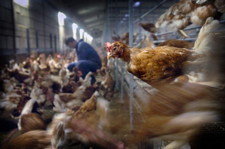 Een biologische kippenhouder in Boven-Leeuwen controleert zijn opgehokte kippen. Beeld Marcel van den Bergh / de Volkskrant
