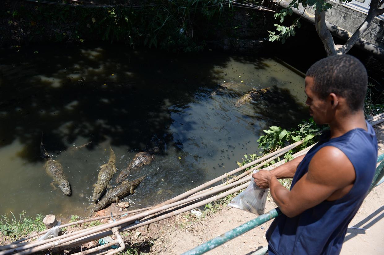 Kaaimannen horen bij het stadsleven van Rio en worden ook gevoerd door bewoners.