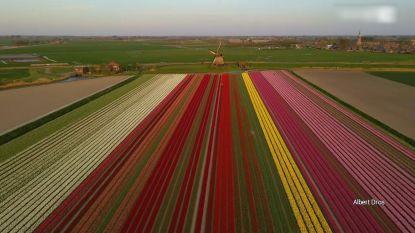 Vlieg mee over de mooiste tulpenvelden van Nederland