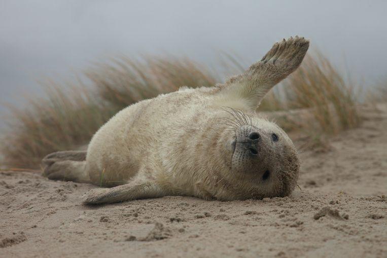 Jonge grijze zeehond in de duinen van Vlieland. Beeld