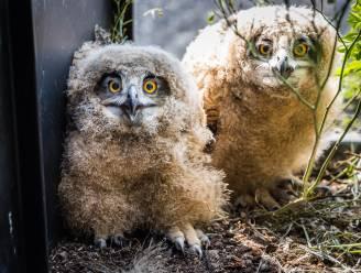 Oehoes die opgroeiden op Geels balkon losgelaten in de natuur: 'Ze groeiden als kool, het was de hoogste tijd om ze vrij te laten'