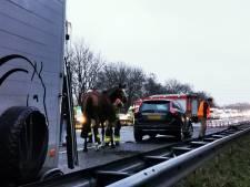 Ontsnapt paard in trailer geladen, A12 weer open