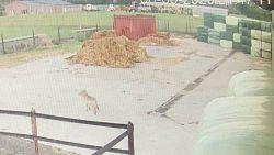 Wolf verplaatst zich van Duffel naar Lier: vrouw komt oog in oog te staan met dier