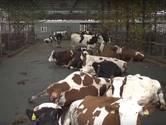 Dat verdient een pluim: koeien krijgen in Heukelom hun eigen tuin