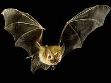 Ineens zit er een vleermuizenelftal in je badkamer