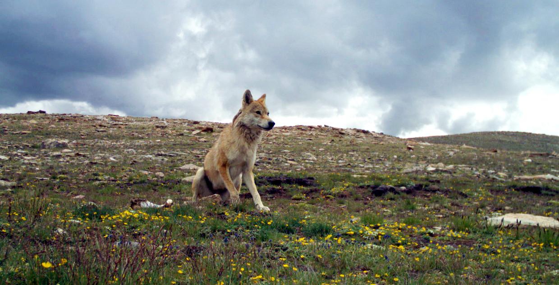 De himalayawolf heeft als 'grijze wolf' de status 'niet bedreigd', maar als het aan Geraldine Werhahn ligt, komt daar verandering in.