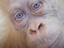 Geredde witte orang oetan Alba mag naar haar eigen oerwoudeilandje