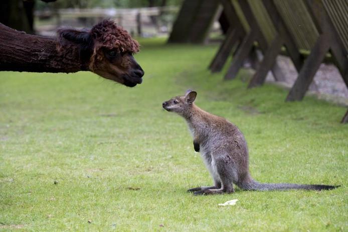 Het jong van de gestolen wallaby blijft op Malkenschoten alleen achter met z'n vader. Én de alpaca's.