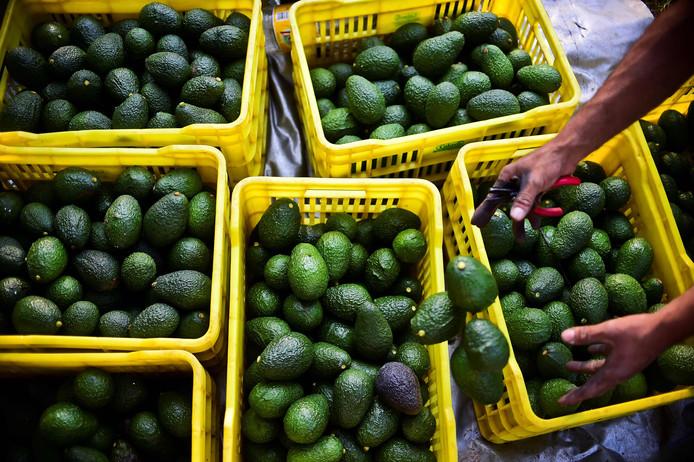 De avocado's die Nature's Pride importeert worden, als de EU het goedkeurt, behandeld met een speciale spray van Apeel Sciences. Foto ter illustratie.