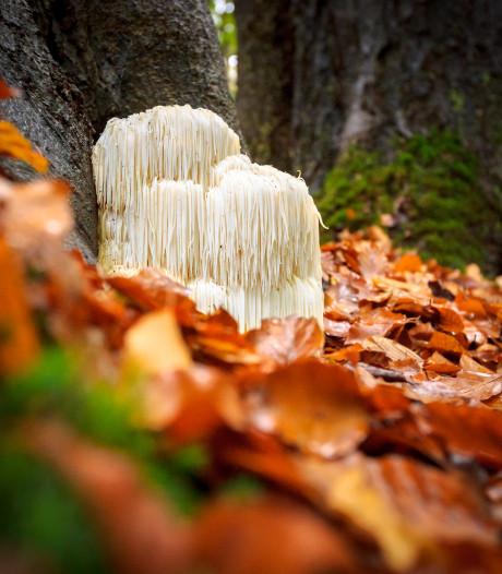 Paddenstoelen wildplukken? 'Thuis kweken is gemakkelijker en beter'
