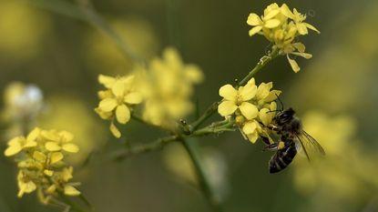 Europa mag voor bijen schadelijke pesticiden nog tot 30 november gebruiken
